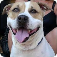 american pitbull terrier kennels in michigan luke swimmer adopted dog luke swimmer troy mi basset