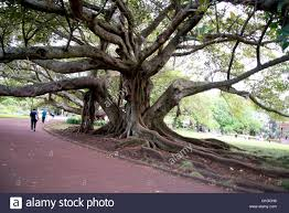 tree with thick twisted branches and roots in albert park
