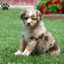 1 australian shepherd miniature australian shepherd puppies for sale greenfield puppies