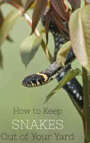 How To Find Snakes In Your Backyard Best 25 Keep Snakes Away Ideas On Pinterest Snake Repellant