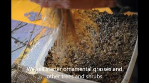 grow ornamental grasses from seed