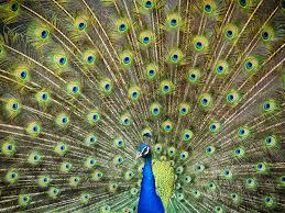 merak biru gambar buka burung sayap hewan pria hijau paruh warna