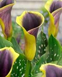 calla lilly calla purple bulbs buy online at farmer gracy uk