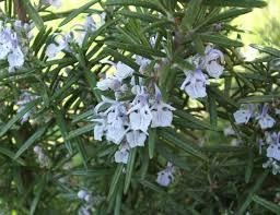 Plant Diseases Wikipedia - prehistoric medicine wikipedia