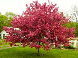the 10 most beautiful ornamental trees for your yard curbappeal