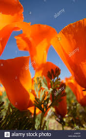 california poppies antelope valley california poppy reserve mojave