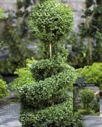 English Box Topiary - cutting u0026 shaping topiary arts