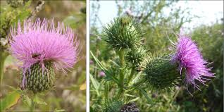 what is a non native plant bringing back native thistles ecological landscape alliance