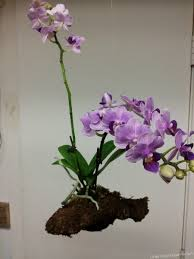 how to rebloom phalaenopsis orchids
