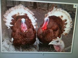 29 best raising turkeys images on raising chicken and