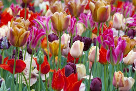 tulips flowers 6 best places to see tulips and more gorgeous