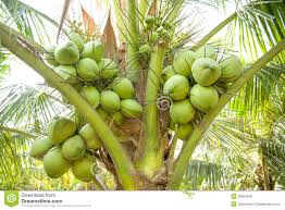clouse up bunch of coconuts on coconut tree royalty free stock