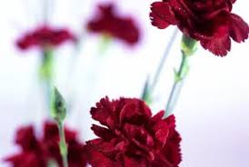 Red Carnations How Long Does It Take For A Red Carnation To Grow Home Guides