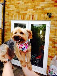 stunning yorkie hair cuts 60 best yorkies images on pinterest cute dogs fluffy pets and