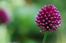 allium flowers allium focus on flowers indiana media