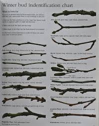 winter tree bud identification chart grow a winter garden