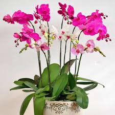Orchid Delivery Singapore Orchids Online Orchid Delivery Live Orchid Plants