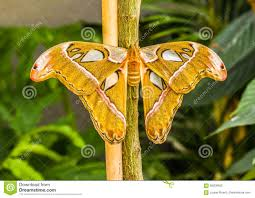 cobra butterfly stock image image of culture species 69206953
