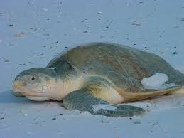 kemp u0027s ridley sea turtle wikipedia
