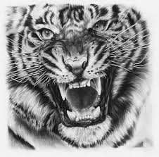 drawn tigres pencil drawing pencil and in color drawn tigres