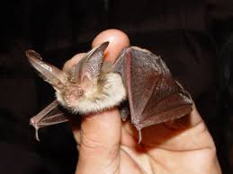 brown long eared bat wikipedia