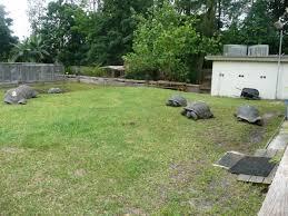 aldabra florida iguana u0026 tortoise breeders