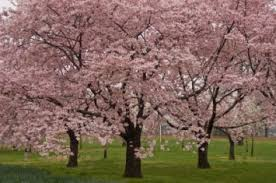 2010 cherry blossom festival brings more than one million visitors