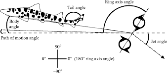 function of the heterocercal tail in sharks quantitative wake