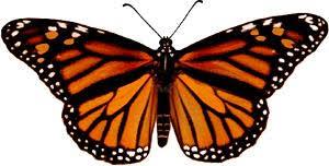 monarchf jpg