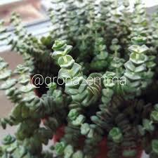 trollhalsband crassula rupestris ssp marnieriana fetbladsväxt