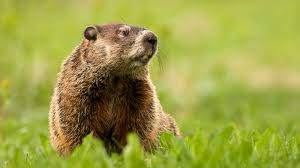 groundhog photos and facts