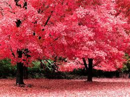 imagenes de otoño para fondo de escritorio fondo de pantalla arboles hermosos color rosado jardin pinterest