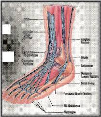 Top Foot Anatomy Normal Ankle And Foot Anatomy