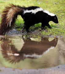 How To Get Rid Of A Skunk In Your Backyard Skunk Making Itself At Home U2013 The Mercury News