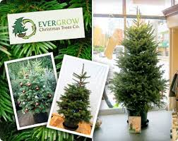 live christmas trees for sale opulent live potted christmas trees interesting living another