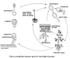 Types Of Plant Disease - late blight of potato and tomato