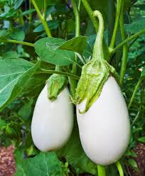 white eggplant beautiful white color standard size fruit