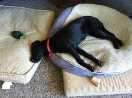 costco pet beds through a dog s ear music therapy for the prevention and
