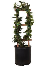 houseplant trellis large leaf confederate jasmine star jasmine order online