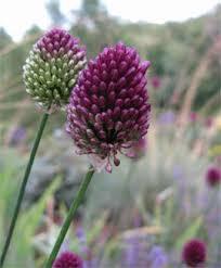 allium flowers how to grow alliums allium flowering onions gardener s supply