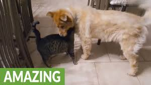 Blind Dog And Friend Cat U0027s Emotional Reaction To Reunion With Blind Dog Youtube