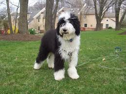 belgian sheepdog poodle mix view topic design a character for the person above you v 1