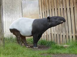 malayan tapir laying down side 動物たち pinterest animal
