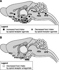 Anatomy And Physiology Of The Brain Articles Physiological Reviews