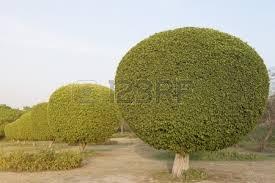 Decorative Trees In India Ornamental Trees In A Garden Lotus Temple New Delhi India Stock