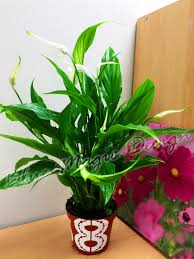 peace lily 1 peace lily indoor plant in lace floral pot spathiphyllum house