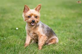 the do u0027s and dont u0027s of grooming a yorkshire terrier pets4homes