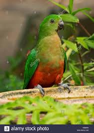 red and green juvenile male king parrot alisterus scapularis at