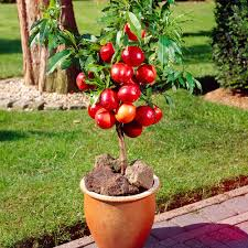 Potted Patio Trees by Buy Patio Dwarf Fruit Trees J Parker Dutch Bulbs