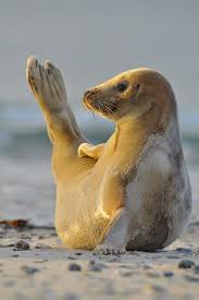 258 best baby seals images on pinterest animals baby animals
